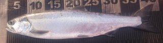 20200322ビワマス4.jpg