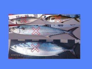 青魚2.jpg